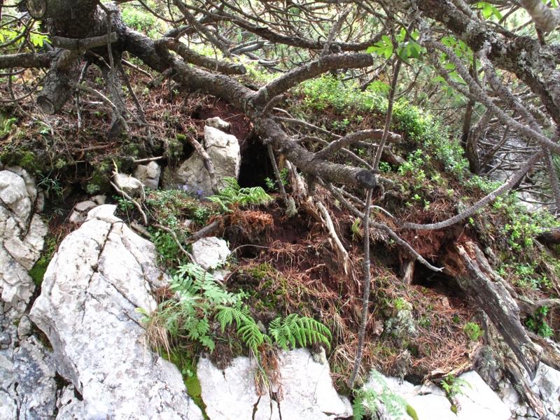 Wurzeln dringen in Fels ein