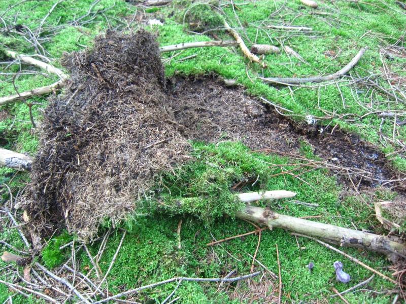 Wildschweine suchen Käferlarven