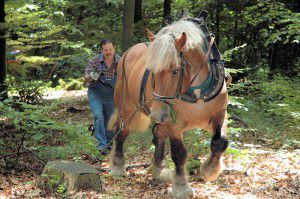 Rückepferd im Wald
