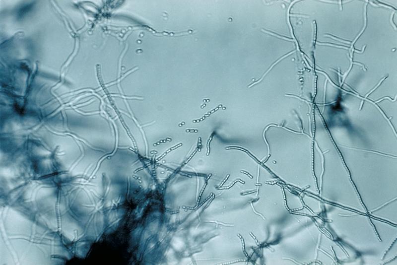 Streptomyceten