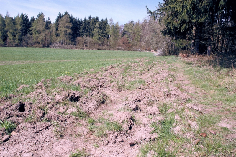Wildschweine durchwühlen den Boden