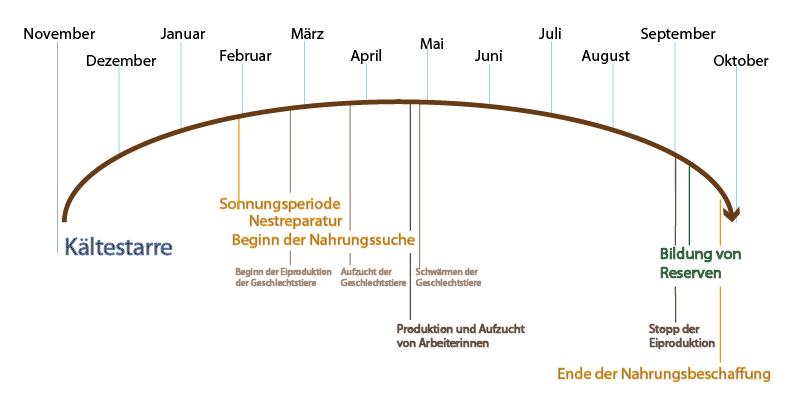 Grafik: Jahresverlauf Rote Waldameise