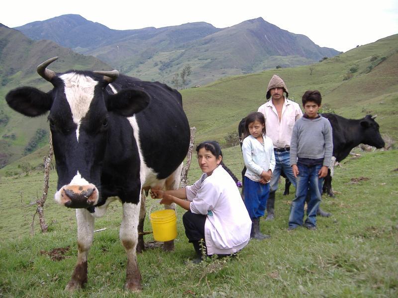 Viehweiden auf gerodetem Regenwald