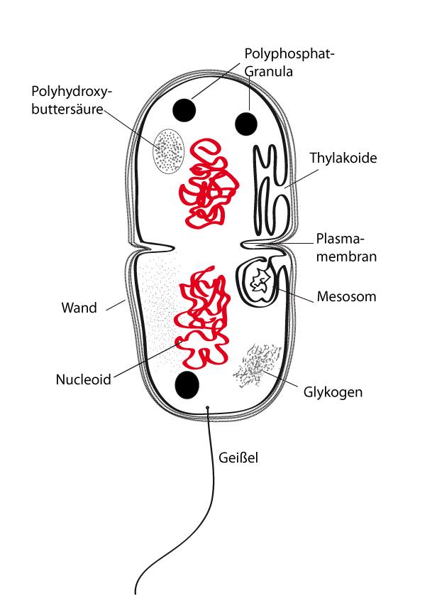 Schema eines Bakteriums