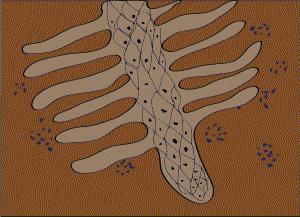 Keimwurzel einer Leguminose und in blau Rhizobien (Bakterien, die Stickstoff binden)