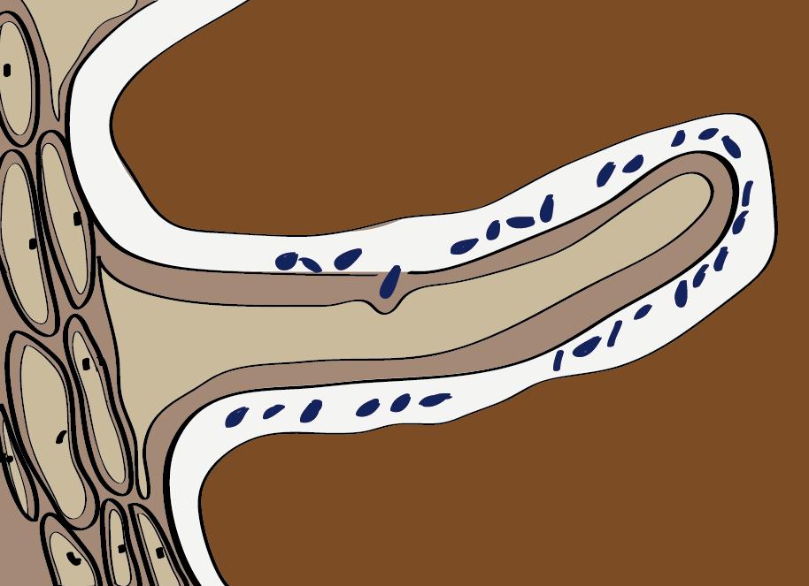 Die Rhizobien dringen bis in die Schleimhülle eines Wurzelhaares vor.
