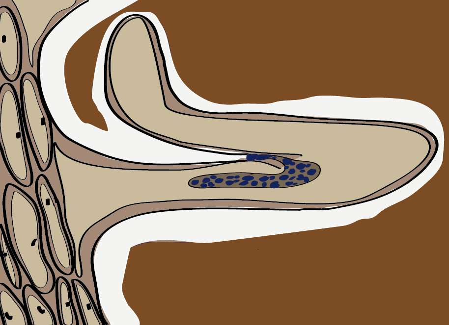 Kümmung des Wurzelhaares