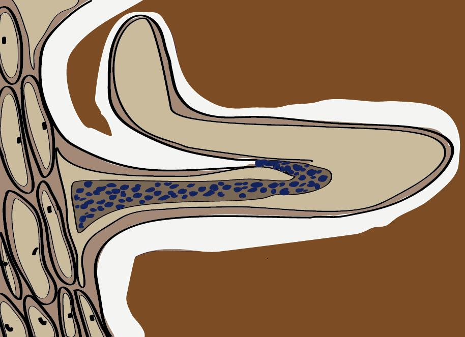 Wanderung der Rhizobien zur Wurzelrinde