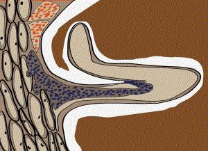 Vermehrung der Rhizobien in der Wurzelrinde. Erste Bakteroiden (rot) bilden sich.
