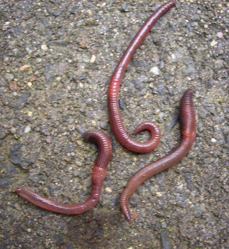 3 Regenwürmer