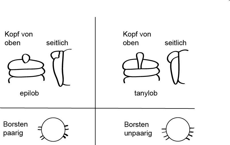 Kopf- und Borstenformen