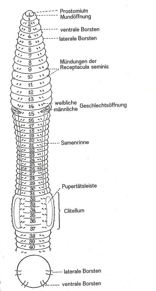 Der Regenwurm | Ahabc.de