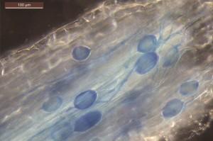 Pilz und Wurzel