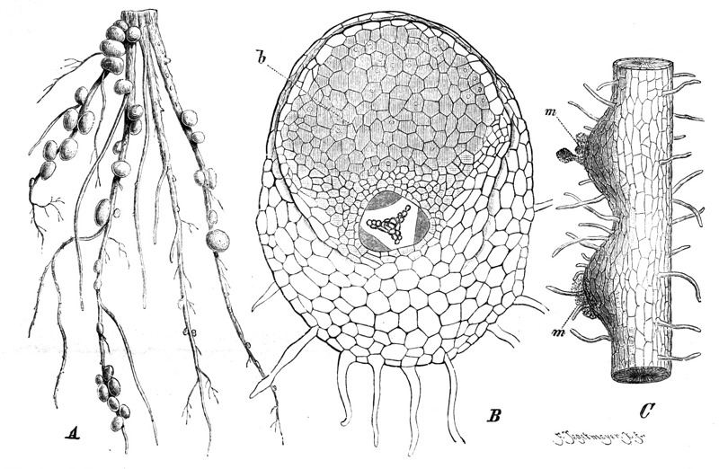Knöllchenbakterien