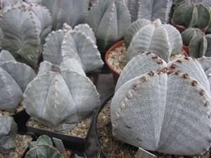 Astrophyten