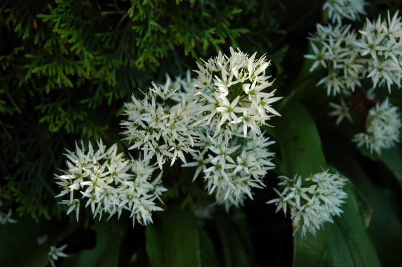 Bärlauch (Allium ursinum) in Blüte