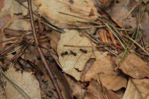 Ameisen in der Laubstreu
