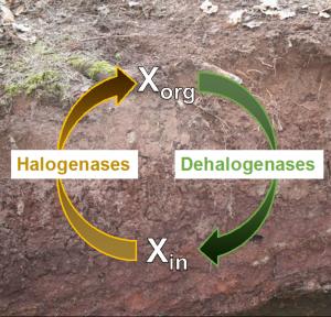 Schematische Darstellung des mikrobiellen Kreislaufs von Halogenverbindungen im Boden.