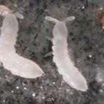 Neonikotinoide im Boden: Weniger Schädlinge, weniger Ertrag?