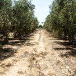 Umwelt- und Bodenchemie: Umweltschädliches Abwasser – Landauer forschen in Israels Olivenhainen