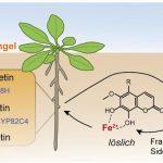 Wandlungsfähige Wurzelabscheidungen helfen Pflanzen auf kalkhaltigen Böden zu überleben