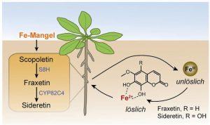 Eisenmangel induziert die Synthese der Coumarin-artigen Siderophore durch Enzyme