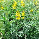 Gelbe Lupine soll Ackerfläche zurückerobern