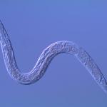 Bodenleben: 57 Milliarden Fadenwürmer pro Mensch: Nematoden sind die weltweit häufigsten Tiere