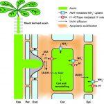 Ammonium fördert die Bildung von Seitenwurzeln