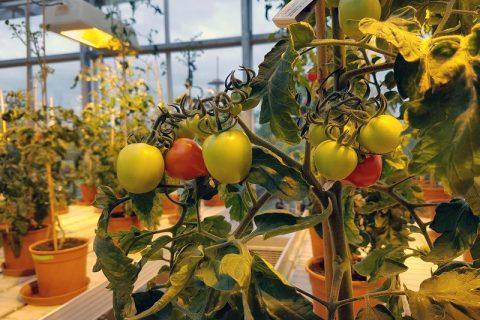 Süße Tomaten durch Mykorrhiza